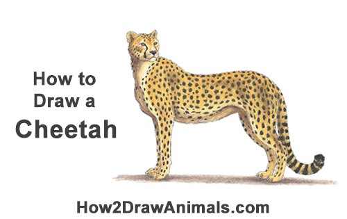 How to Draw a Cheetah Standing Side Color