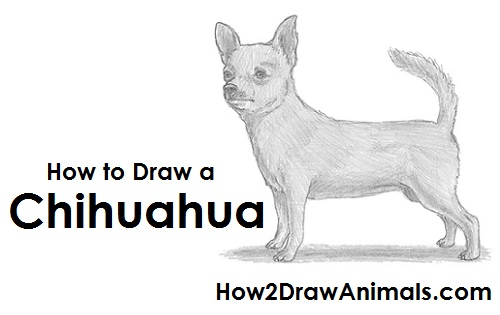 Draw Chihuahua Dog