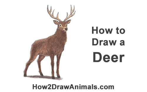 How to Draw Noble Deer Antlers Standing Majestic Buck Stag Color