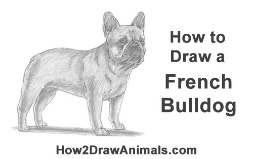 How to Draw French Bulldog Frenchie Puppy Dog