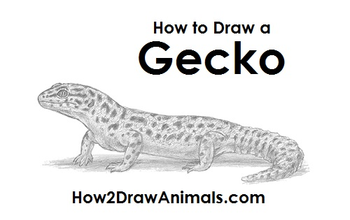 Draw Gecko Lizard