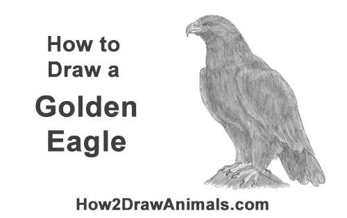 How to Draw a Golden Eagle Bird