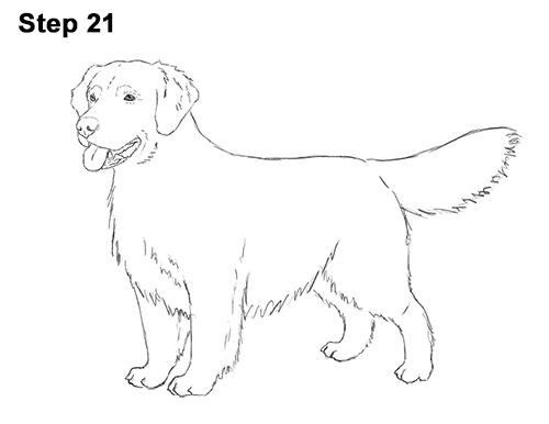 How to Draw a Golden Retriever Dog 21
