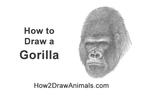 How to Draw a Gorilla Head Face Portrait