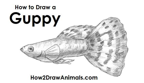 Draw Guppy Fish