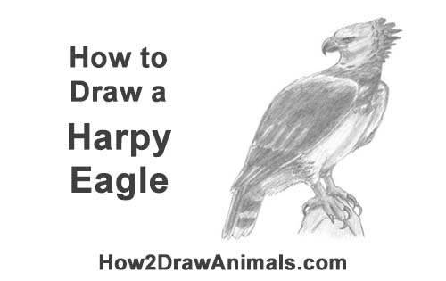 How to Draw an American Harpy Eagle Bird