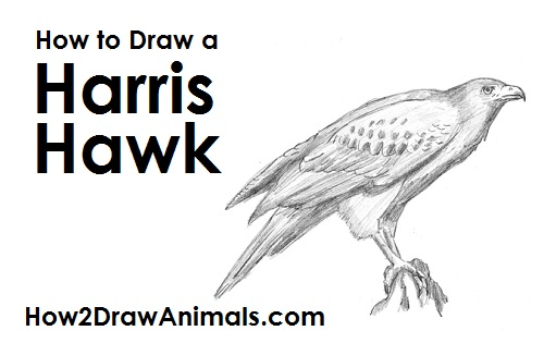 Draw Harris Hawk