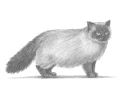 How to Draw a Himalayan Cat Side