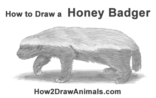 How to Draw a Honey Badger