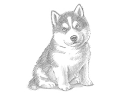 How to Draw a Siberian Husky Puppy Dog