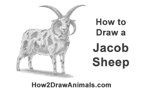 How to Draw Jacob Sheep Four Horns Ram Goat