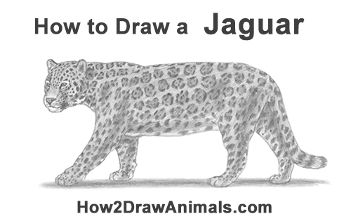 How to Draw a Jaguar Big Cat