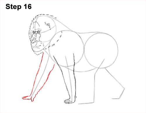 How to Draw Male Mandrill Baboon Monkey Walking 16