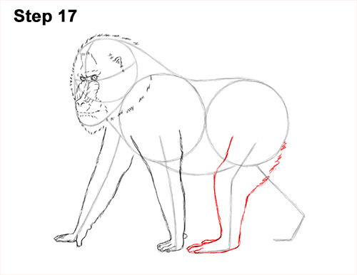 How to Draw Male Mandrill Baboon Monkey Walking 17