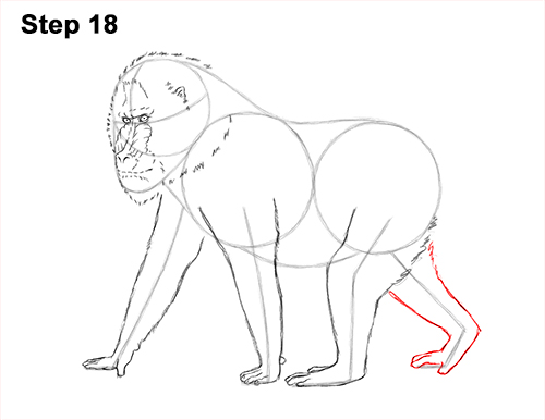 How to Draw Male Mandrill Baboon Monkey Walking 18