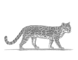 How to Draw a Margay Wild Cat