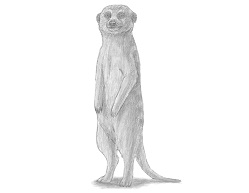 How to Draw a Meerkat