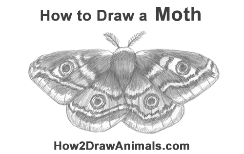 How to Draw an Emperor Moth Wings Insect