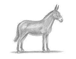 How to Draw Mule Horse Donkey