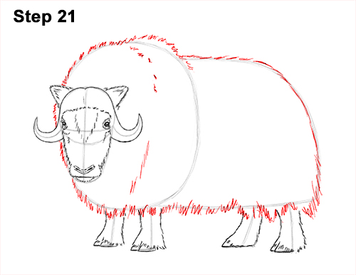How to Draw Musk Ox Standing Horns 21