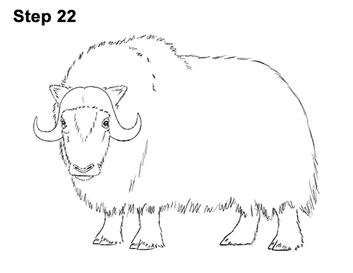 How to Draw Musk Ox Standing Horns 22