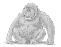 How to Draw an Orangutan Sitting