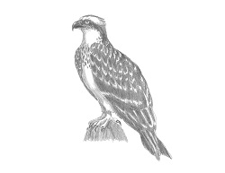 How to Draw an Osprey Seahawk Raptor Bird