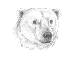 How to Draw a Polar Bear Head Detail Portrait Face