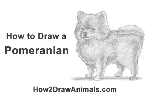 How to Draw a Cute Pomeranian Puppy Dog