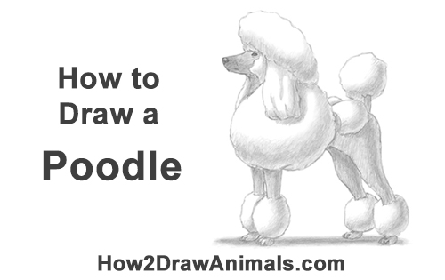 How to Draw a Poodle Dog