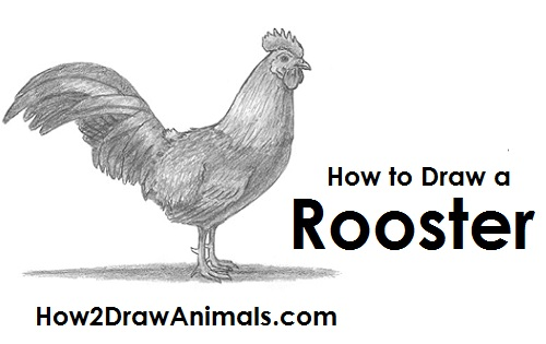 Draw Rooster