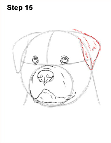 How to Draw a Rottweiler Dog Head Portrait Face 15