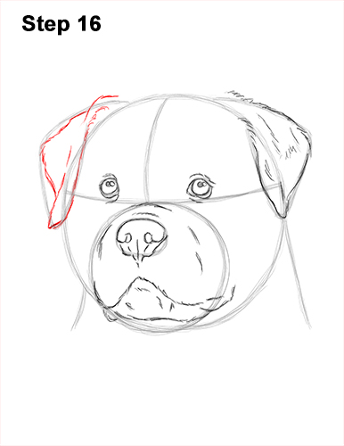 How to Draw a Rottweiler Dog Head Portrait Face 16