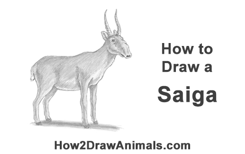 How to Draw a Male Saiga Antelope Nose
