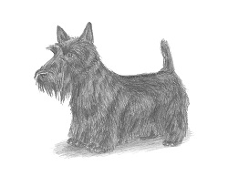 How to Draw a Scottish Terrier Scottie Dog