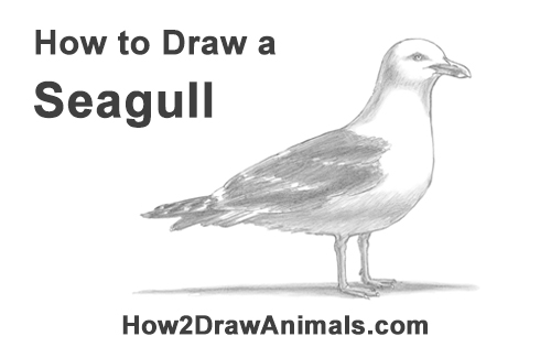 How to Draw a Seagull Gull Bird Standing