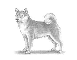 How to Draw a Shiba Inu Puppy Dog Side