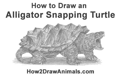How to Draw Alligator Snapping Turtle Snapper