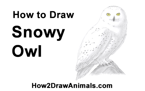 How to Draw a Snowy Owl