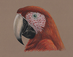 Scarlet Macaw Portrait Head Special Drawing