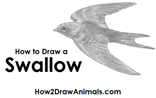 Draw Swallow Bird