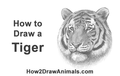 How to Draw a Tiger Head Portrait Face