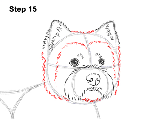 How to Draw a West Highland White Terrier Puppy Dog 15