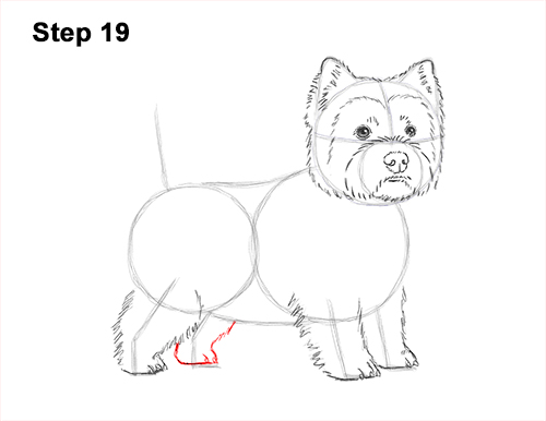How to Draw a West Highland White Terrier Puppy Dog 19