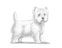 How to Draw a West Highland White Terrier Dog
