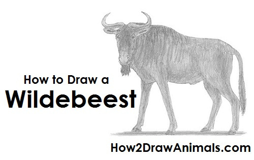 How to Draw a Wildebeest