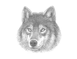 How to Draw a Grey Wolf Head Portrait