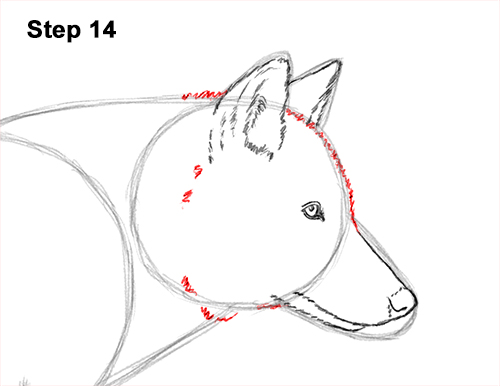 How to Draw a Grey Timber Wolf Running Hunting 14