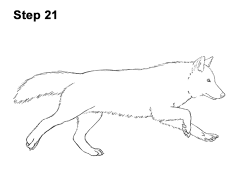 How to Draw a Grey Timber Wolf Running Hunting 21