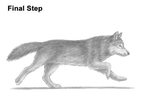 How to Draw a Grey Timber Wolf Running Hunting